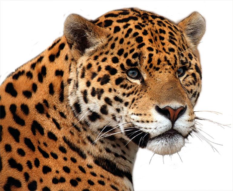 High Quality Jaguar Head.